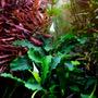Bucephalandra pygmaea Wavy Green - TROPICA (koszyk)