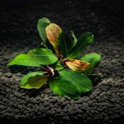Bucephalandra Red central - PLANTACJA (koszyk)