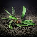 Bucephalandra Red Dagger - PLANTACJA (koszyk)