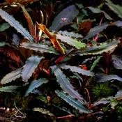 Bucephalandra Red Melawi - RA (opakowanie) (PL-6)