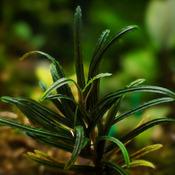 Bucephalandra Rosemary mix Belindae - RA (opakowanie) (PL-4)