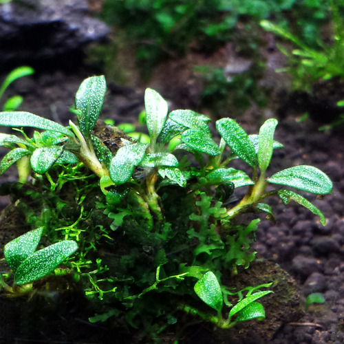 Bucephalandra Sekadau sp.- RA (opakowanie) (PL-5)