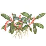 Bucephalandra sp. red - TROPICA (koszyk)