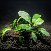 Bucephalandra Theia  - PLANTACJA (koszyk)