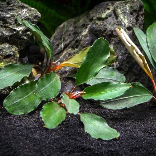 Bucephalandra Theia - RATAJ (koszyk)