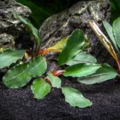 Bucephalandra Theia  - Tropica (koszyk)