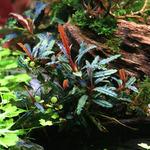 Bucephalandra Velvet - PLANTACJA (koszyk)