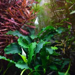 Bucephalandra Wave leaf - in-vitro Aqua-Art