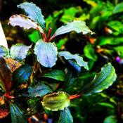 Bucephalandra wavy dark green - PLANTACJA (koszyk)