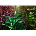 Bucephalandra Wavy Green na lawie - TROPICA