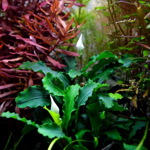 Bucephalandra Wavy Green - TROPICA (koszyk)