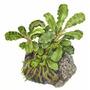 Bucephalandra Wavy Green - TROPICA (na lawie)