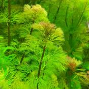 Cabomba aquatica (żółtokwiatowa) - RA koszyk duży XXL