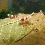 Catappa Leaves Nano [15 szt] - małe liście ketapangu