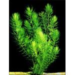 Ceratophyllum demersum - RATAJ rogatek (porcja) - roślina pływająca