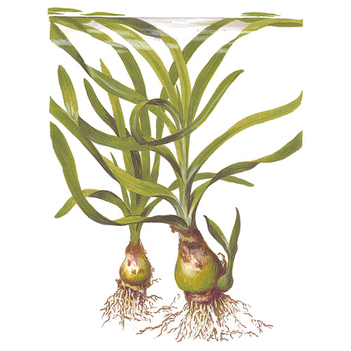 Crinum thaianum TROPICA (koszyk)