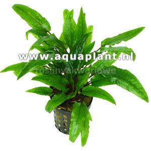 Cryptocoryne green crisped leaf - SONGROW (koszyk)