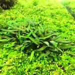 Cryptocoryne lutea Hobbit - PLANTACJA (in-vitro)