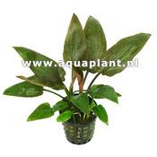 Cryptocoryne pontederifolia - SONGROW (koszyk)