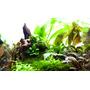 Cryptocoryne tropica  - PLANTACJA (koszyk)