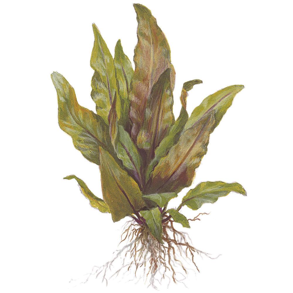 Cryptocoryne undulata Broad Leaves TROPICA (koszyk)