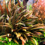 Cryptocoryne undulatus Red - TROPICA in-vitro 12GROW