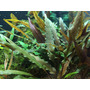 Cryptocoryne undulatus Red - TROPICA in-vitro 12GROW - RARYTAS !!!