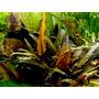 Cryptocoryne wendtii brown - SONGROW (koszyk)