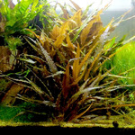 Cryptocoryne wendtii brown - SONGROW (koszyk)