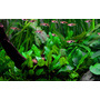 Cryptocoryne wendtii green - PLANTACJA (koszyk)
