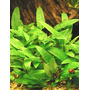 Cryptocoryne wendtii green - RATAJ (koszyk)