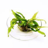 Cryptocoryne wendtii green - sadzonka