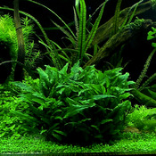 Cryptocoryne wendtii green - SONGROW (koszyk)