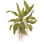 Cryptocoryne wendtii Green TROPICA (opakowanie)