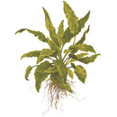 Cryptocoryne wendtii Green TROPICA (PCS)