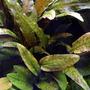 Cryptocoryne wendtii Tropica - SONGROW (koszyk)