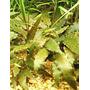 Cryptocoryne wendtii Tropica TROPICA (koszyk)