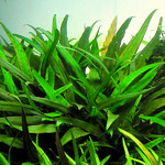 Cryptocoryne willisii - SONGROW (in-vitro) [31]