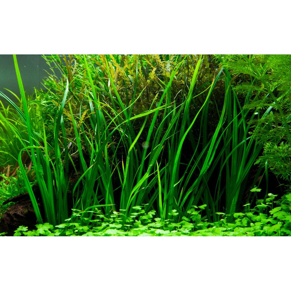 Cyperus helferi TROPICA (koszyk)