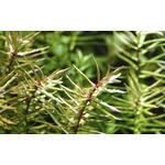 Didiplis diandra - in-vitro Aqua-Art