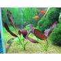 Echinodorus Afflame - RA koszyk XXL