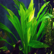 Echinodorus amazonicus - RA koszyk duży XXL