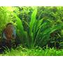 Echinodorus amazonicus - SONGROW (koszyk)