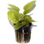 Echinodorus Aquartica TROPICA (koszyk)