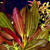 Echinodorus Barthii - RA koszyk duży XXL