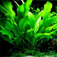 Echinodorus bleheri - PLANTACJA (koszyk)