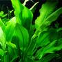 Echinodorus bleheri - RATAJ (koszyk)