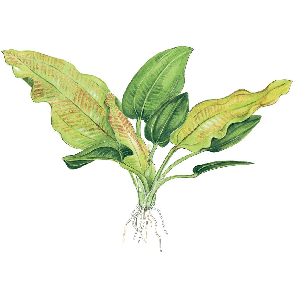 Echinodorus cordifolius Fluitans TROPICA (koszyk)