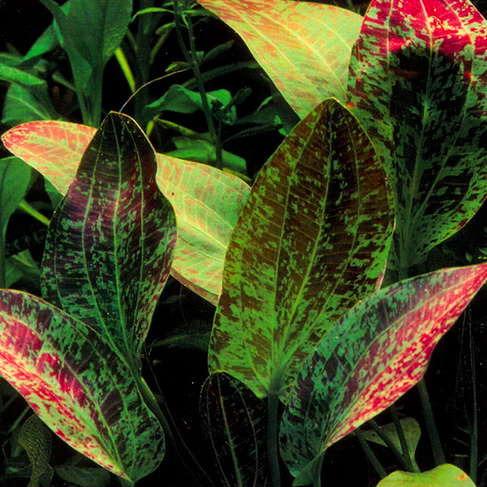 Echinodorus Green Flame - PLANTACJA (koszyk)