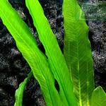 Echinodorus Green Horemani (koszyk)